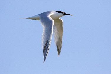 NIS00067112 Sandwich Tern (Sterna sandvicensis) in fligth against the sky, Texel, The Netherlands