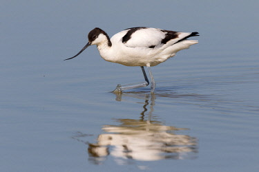 NIS00072964 Pied Avocet (Recurvirostra avosetta) foraging in the water, Texel, Noord-Holland, The Netherlands