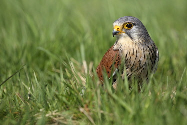 NIS00073233 Common Kestrel (Falco tinnunculus) sitting in meadow, Gelderland, The Netherlands