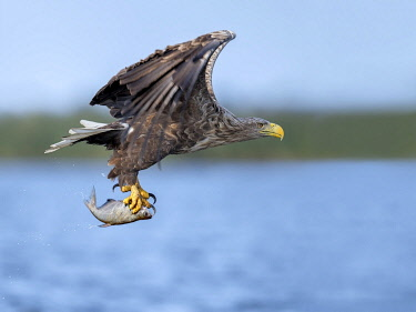 NIS00073235 White-tailed Eagle (Haliaeetus albicilla) flying with caught fish in its claws, Oder, Stepnica, Poland