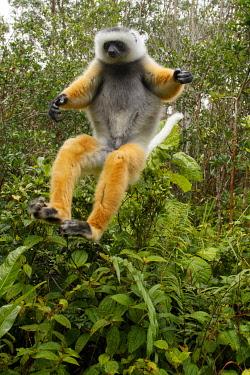 NIS00073323 Diademed Sifaka (Propithecus diadema) jumping, Mantadia National Park, Madagascar