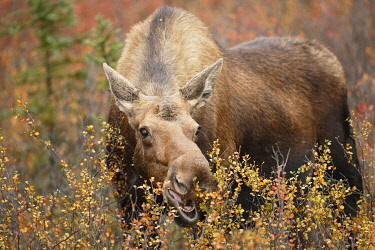 NIS00074907 Moose (Alces alces) cow feeding on vegetation, Denali National Park and Preserve, Alaska, United States