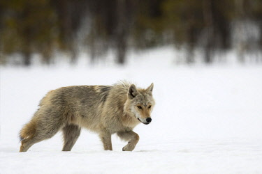 NIS00074953 Gray Wolf (Canis lupus) walking in the snow looking for prey, Finland