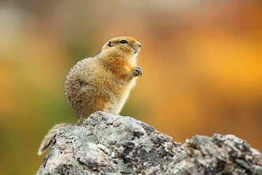 NIS00075373 Arctic Ground Squirrel (Urocitellus parryii) standing on a rock, Denali National Park and Preserve, Alaska, United States