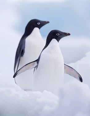 NIS00075405 Two Adelie Penguins (Pygoscelis adeliae) standing on Paulet Island, Antarctica, Paulet Island, Antarctica
