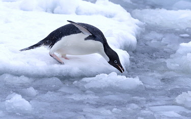 NIS00075421 Adelie Penguin (Pygoscelis adeliae) ready to glide into the water near Esperanza Base, Antarctica