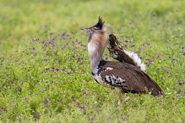 NIS00075526 Kori Bustard (Ardeotis kori) male in courtship display, Ngorongoro Conservation Area, Tanzania
