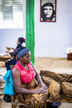 CUB2556AW Women working in a state run cigar factory in Vinales, Pinar del Rio Province, Cuba