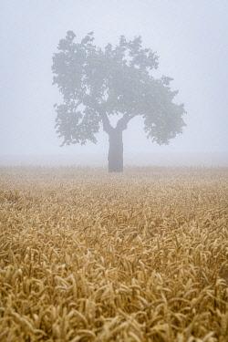 CZE2232AWRF Lone tree on field in fog near Svatoborice-Mistrin, district Hodonin, South Moravian Region, Czech Republic
