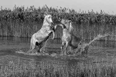 FRA11848AW Europe, France, Provence-Alpes-Côte d'Azur, Bouches-du-Rhone, Camargue, Saintes-Maries-de-la-Mer, 2 stallions spar in a lake in the Camargue