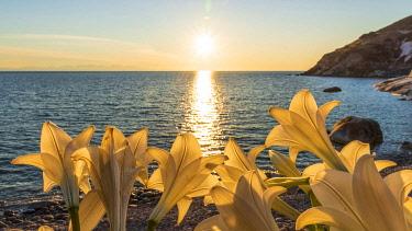 ITA15558AW europe, Italy, Tuscany, Elba Island, sunset at Pomonte beach with flowers