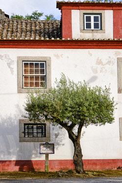 POR10971AW Olive tree. Quinta de Santo Amaro. Aldeia da Piedade, Setubal. Portugal