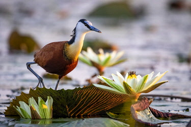 BOT5450AW African Jacana with Water Lillies, Chobe River, Chobe National Park, Botswana