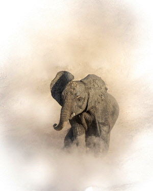 BOT5453AW Young elephant shrouded in dust, Chobe River, Chobe National Park, Botswana