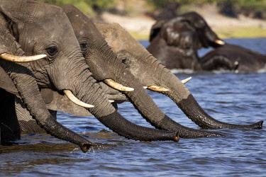 BOT5457AW Line of Elephants drinking water, Chobe River, Chobe National Park, Botswana