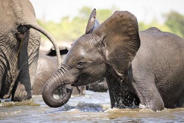 BOT5470AW Young Elephant playing, Chobe River, Chobe National Park, Botswana