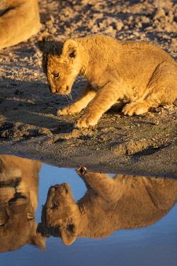 BOT5489AW Lion cub, Savuti, Chobe National Park, Botswana