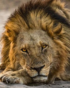 BOT5495AW Lion, Chobe River, Chobe National Park, Botswana