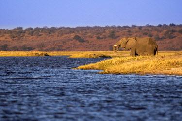 BOT5496AW Elephants drinking, Chobe River, Chobe National Park, Botswana