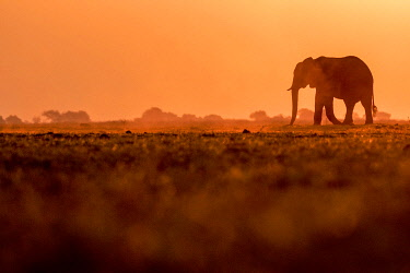 BOT5502AW Elephant silhouette, Chobe River, Chobe National Park, Botswana