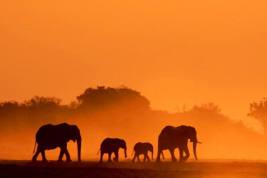 BOT5509AW Elephant silhouettes, Chobe River, Chobe National Park, Botswana