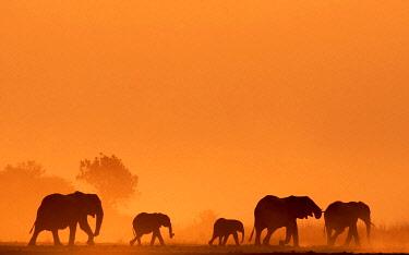 BOT5510AW Elephant silhouettes, Chobe River, Chobe National Park, Botswana