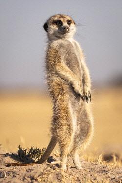 BOT5521AW Meerkat, Makgadikgadi Salt Pans, Botswana