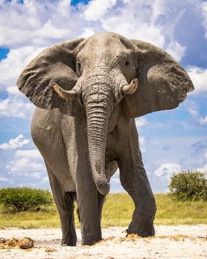 BOT5533AW Elephant bull, Baines Baobabs, Nxai Pan National Park, Botswana