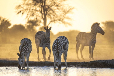 BOT5537AW Drinking Zebra, Nxai Pan National Park, Botswana
