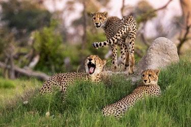 BOT5576AW Cheetah family, Okavango Delta, Moremi Game Reserve, Botswana