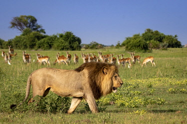 BOT5579AW Male Lion walking with Red Lechwe in the background, Okavango Delta, Botswana