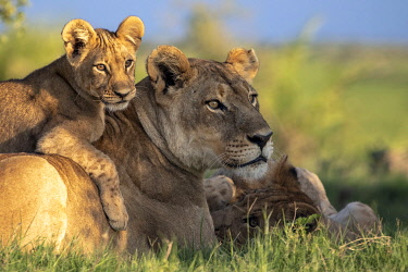 BOT5585AW Lion cub lying on its mother, Okavango Delta, Botswana