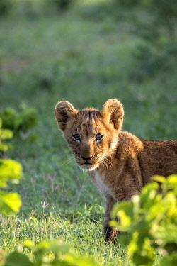 BOT5586AW Curious Lion cub, Okavango Delta, Botswana