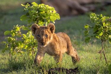 BOT5588AW Curious Lion cub, Okavango Delta, Botswana