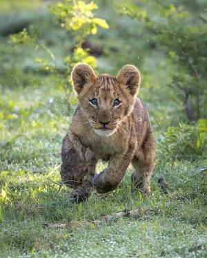 BOT5590AW Playful Lion cub, Okavango Delta, Botswana