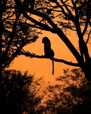 BOT5595AW Leopard silhouette, Khwai River, Okavango Delta, Botswana