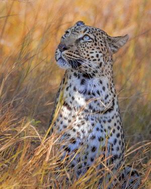 BOT5596AW Leopard, Khwai River, Okavango Delta, Botswana