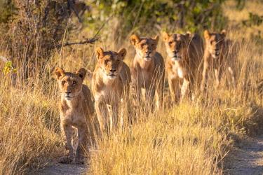 BOT5597AW Pride of Lion, Okavango Delta, Botswana