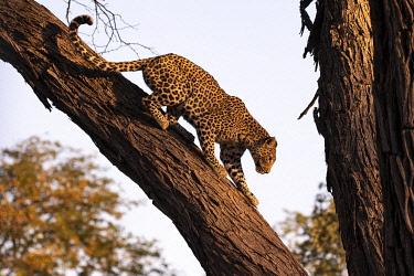 BOT5604AW Leopard climbing a tree, Okavango Delta, Botswana