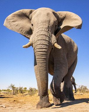 BOT5610AW Elephant, Okavango Delta, Botswana