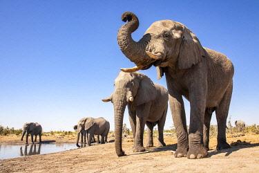 BOT5613AW Elephant, Okavango Delta, Botswana