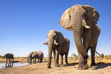 BOT5614AW Elephant, Okavango Delta, Botswana