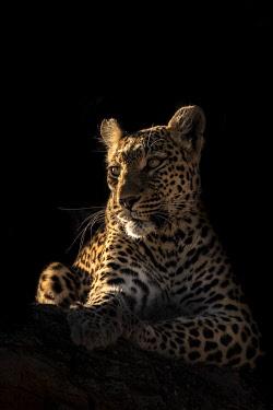 BOT5625AW Leopard, Okavango Delta, Botswana