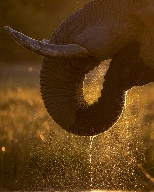 BOT5628AW Elephant trunk drinking, Okavango Delta, Botswana