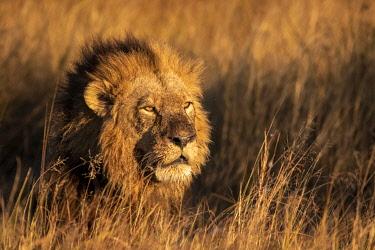 BOT5629AW Male Lion, Okavango Delta, Botswana