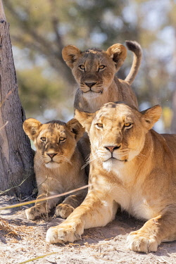 BOT5632AW Lion family, Okavango Delta, Botswana