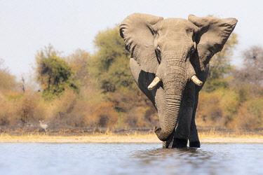 BOT5648AW Elephant, Moremi Game Reserve, Okavango Delta, Botswana