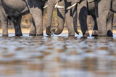 BOT5650AW Elephants drinking, Okavango Delta, Botswana