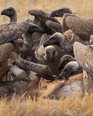 BOT5657AW Vultures Feeding, Okavango Delta, Botswana