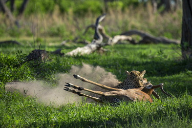 BOT5660AW Leopard making a kill, Moremi Game Reserve, Okavango Delta, Botswana